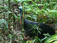 Southern Cassowary in the Rainforest