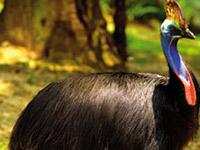 Colourful Southern Cassowary