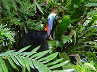 Southern Cassowary in the bushes